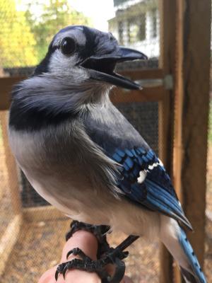 John James Audubon Center Blue Jay