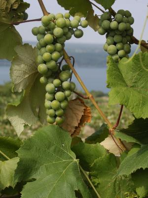 Grapesin the Fingerlakes Region.