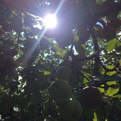 apples picking