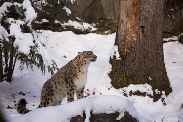 RWP Zoo Snow Leopards