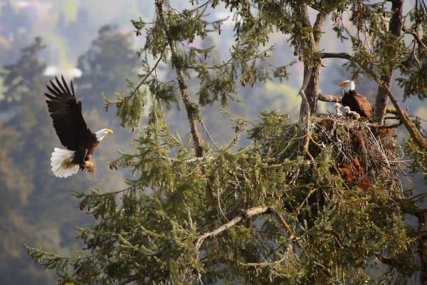 Bald Eagle Nesting by Kohlhase Creative Arts - David K. Hill