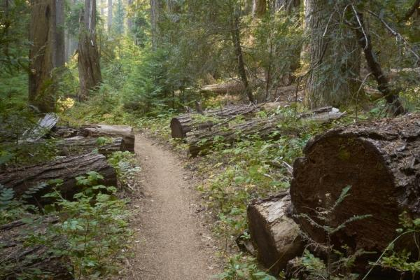 Old Growth on the McKenzie River Trail