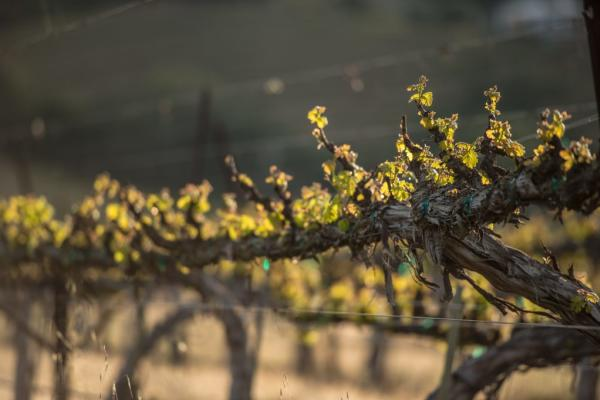 Bud Break Vineyard