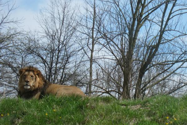 Fort Wayne Children's Zoo Bahati Lion