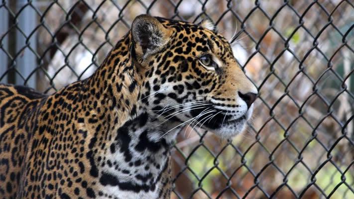Elmwood Park Zoo - Jaguars