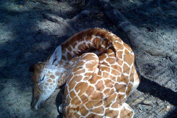 Giraffe Ranch Sleeping Giraffe