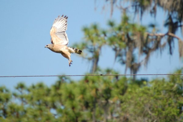 Red Shoulder Hawk in flight