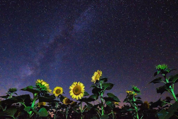 Sunflowers and the milkyway