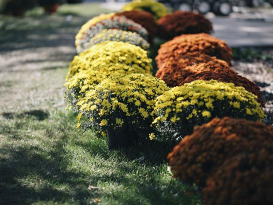 A large variety of Mums | credit AB-PHOTOGRAPHY.US