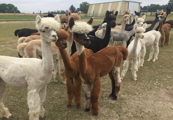 Alpacas of York