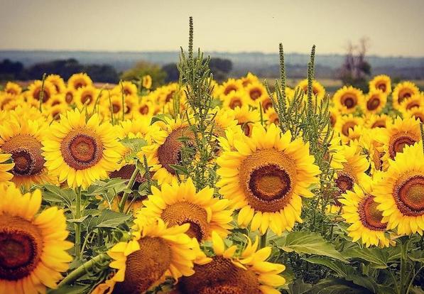 Sunflower_August_Instagram