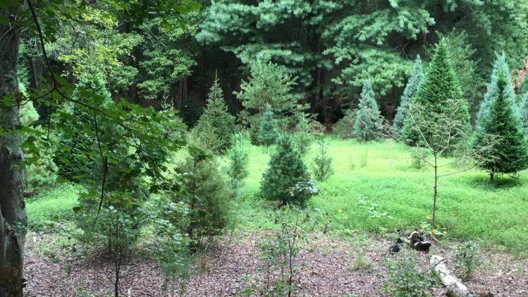 Northlake Christmas Tree Farm Woods