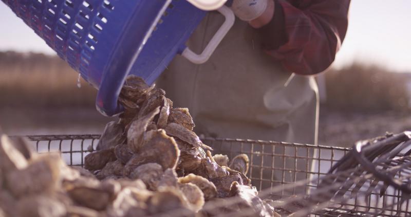 Pleasure House Oysters, Lynnhaven Oyster Virginia Beach