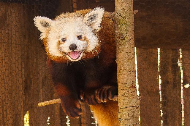 Red Panda at Mill Mountain Zoo in Virginia's Blue Ridge