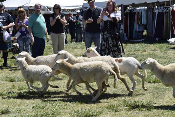 dsc0209 sheep scottish Festival