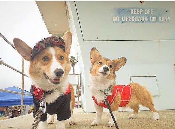 @taco.the.corgi and his friend on lifeguard duty!