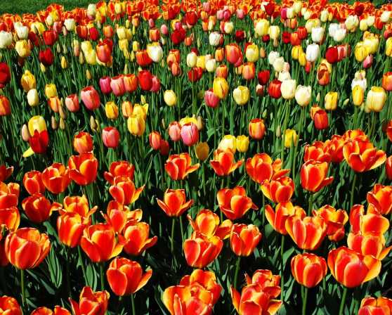 Tulip Fest