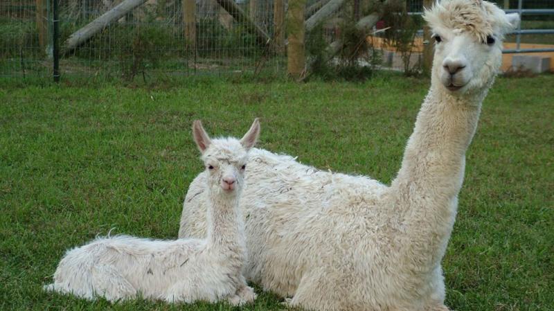 Montrose Farms Alpaca Ranch in Hendricks County