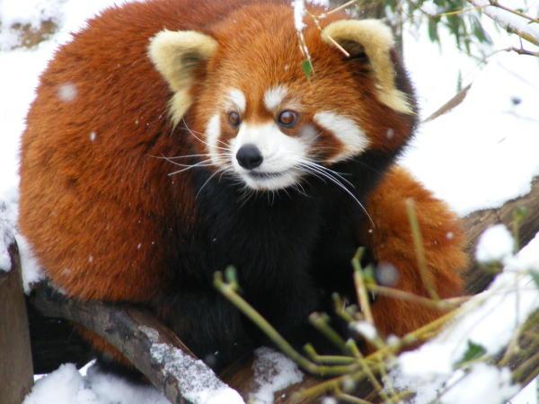 Red Panda Snow