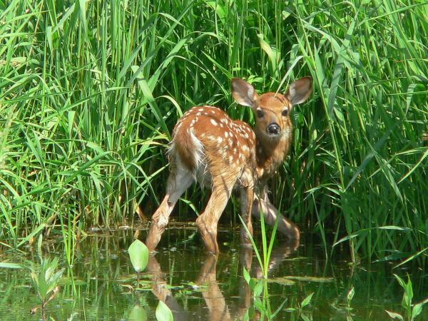 Eagle Marsh Fawn - Fort Wayne, IN