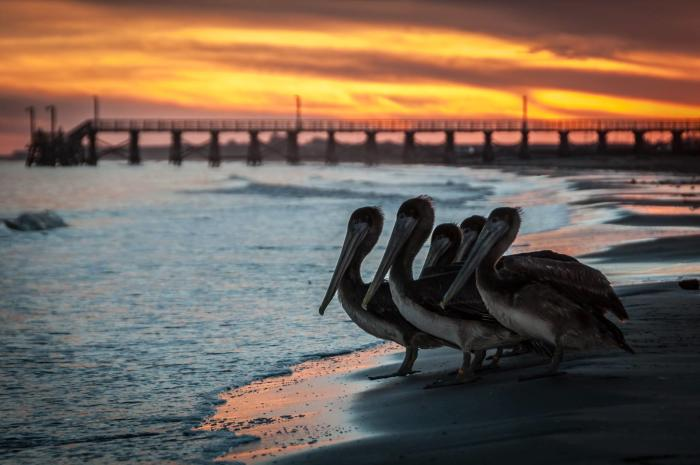 Pelicans on the Beach in Brazosport