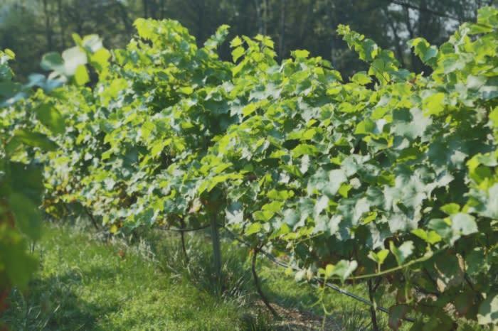 Vines at Mountain View Vineyard