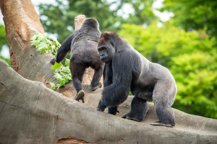 Gorillas at Houston Zoo