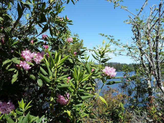 Coastal Rhodies by Jennifer Archer