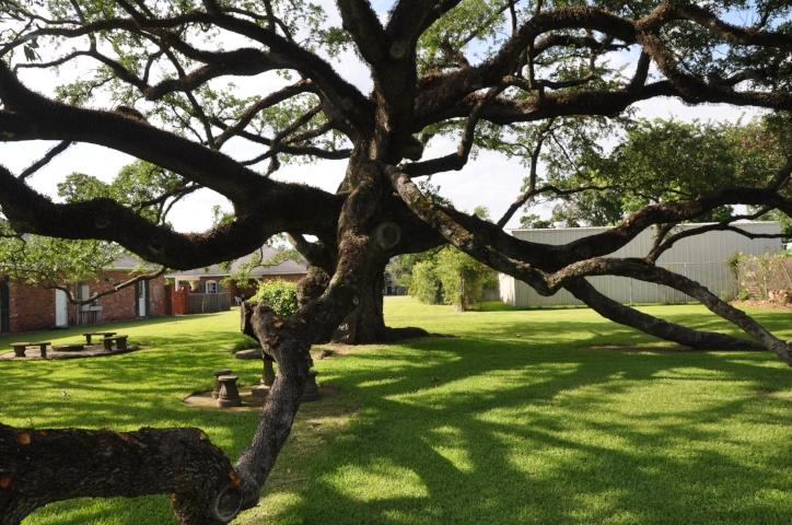 Sallier Oak