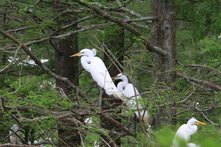 white egrets perched in trees