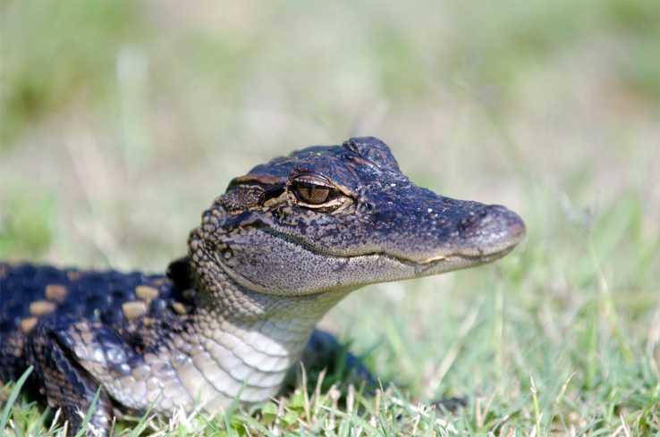 Insta Gator Ranch - Baby Gator
