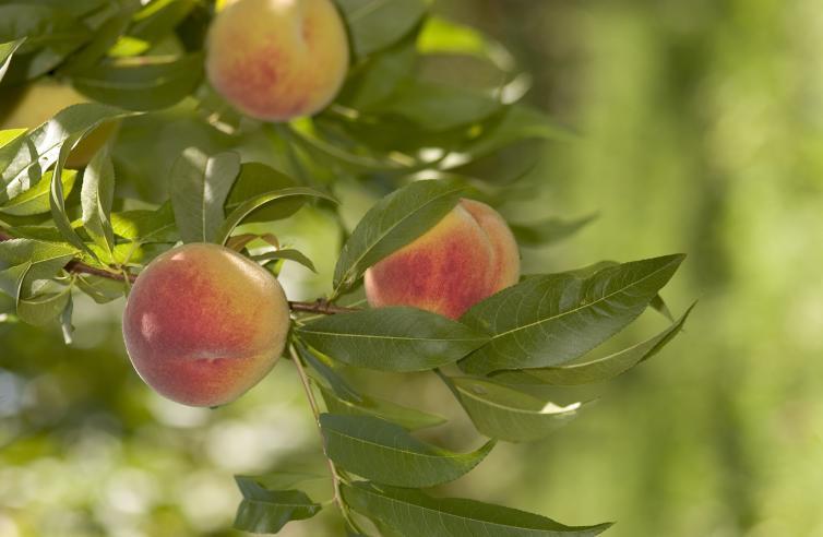 Kelowna peaches