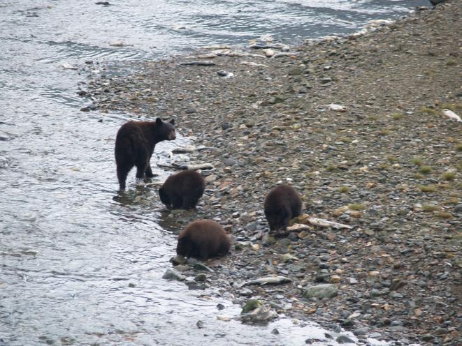Salmon and bears!
