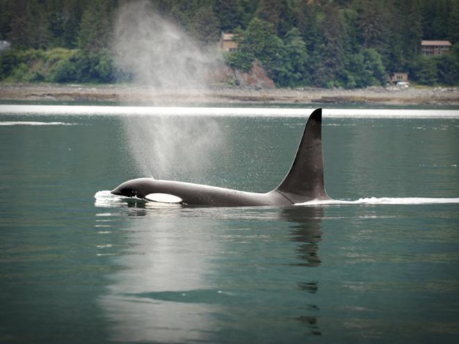 Orca traveling with Gastineau Guiding