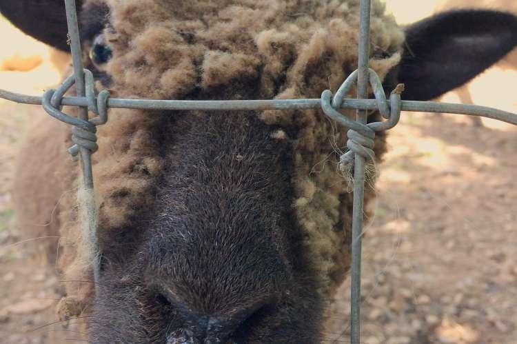 Sheep at 1818