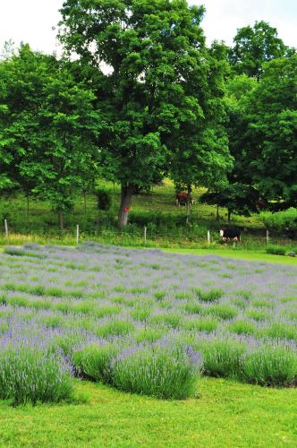 Rows of lavender at Lavenlair Farm with cows in the background