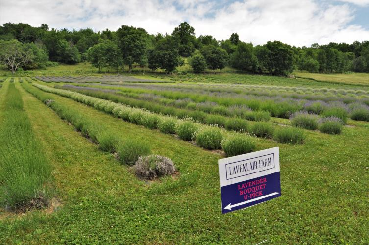 Lavenlair Farm U-Pick sign in front of field of lavender