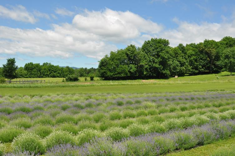 View of lavender with fields in the distance at Lavenlair Farm
