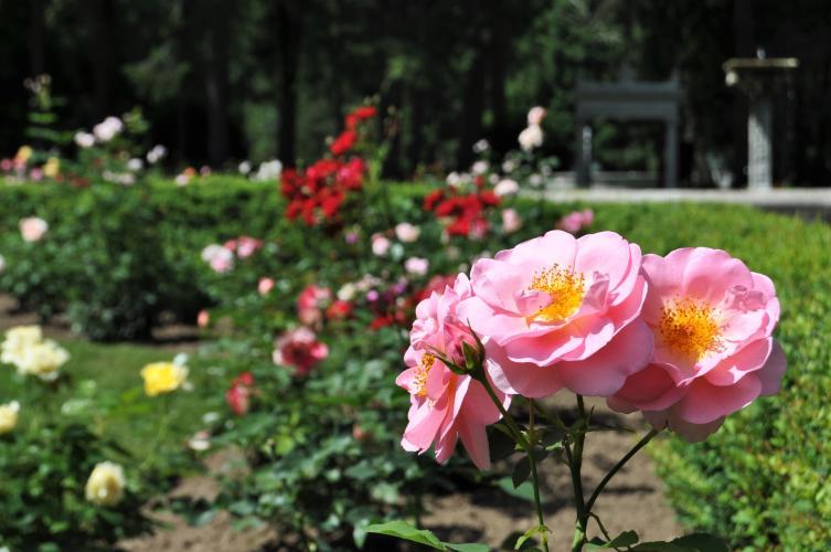 Large pink roses at Yaddo Gardens