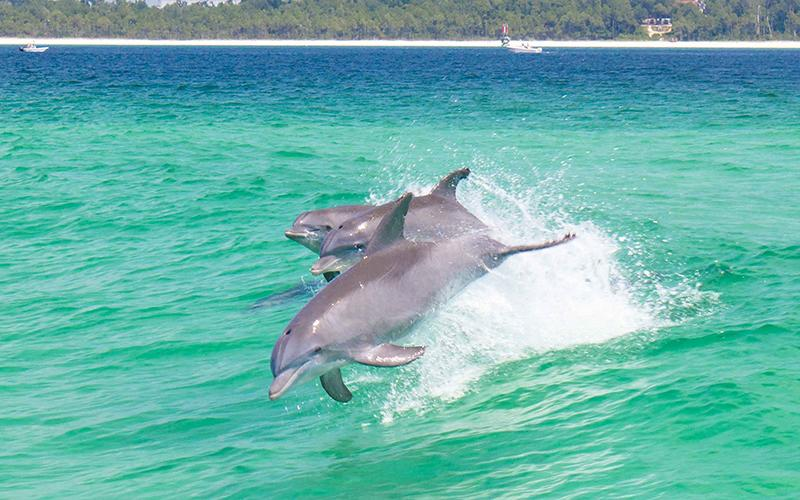 Dolphin jumping in Pensacola Bay