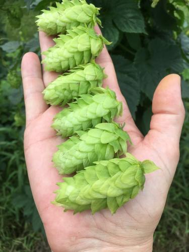hop cones at the Hopyards of Kent