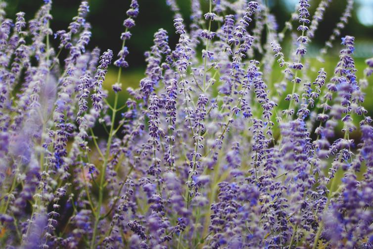 Okanagan Herb & Lavender Farm