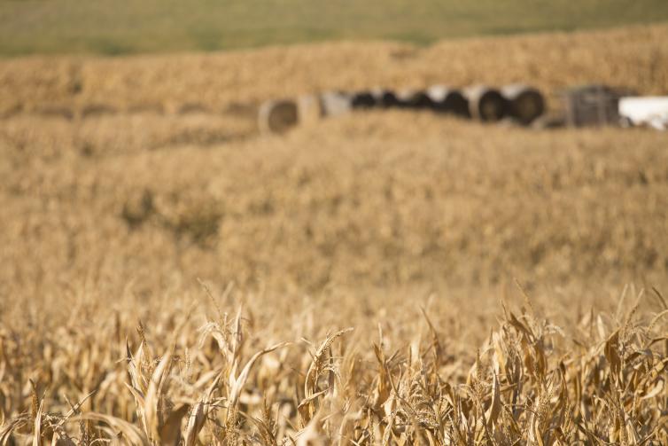 Glenmore Corn Maze