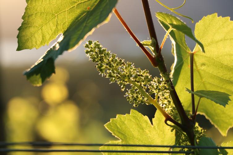 Pinot Noir Flowering - Tantalus