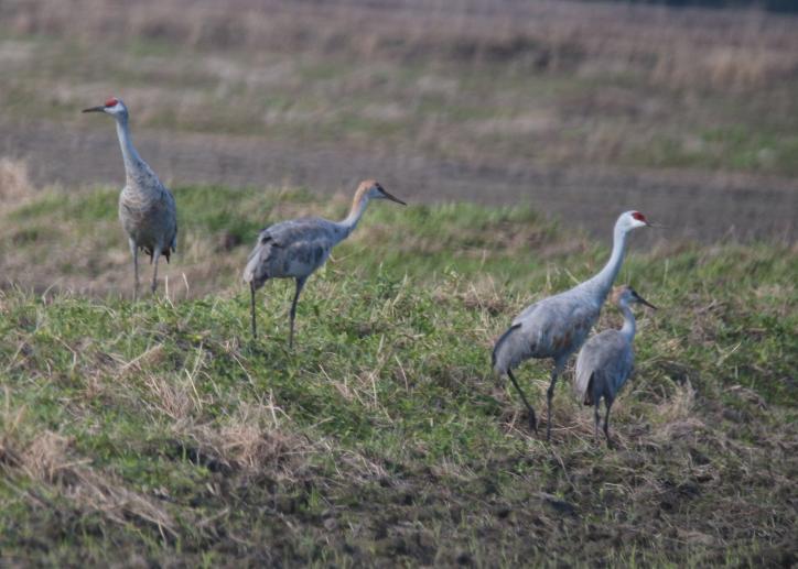 Sandhill Cranes | Birding in Lake Charles
