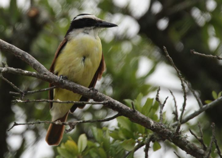 Great Kiskadee | Birding in Lake Charles, LA.