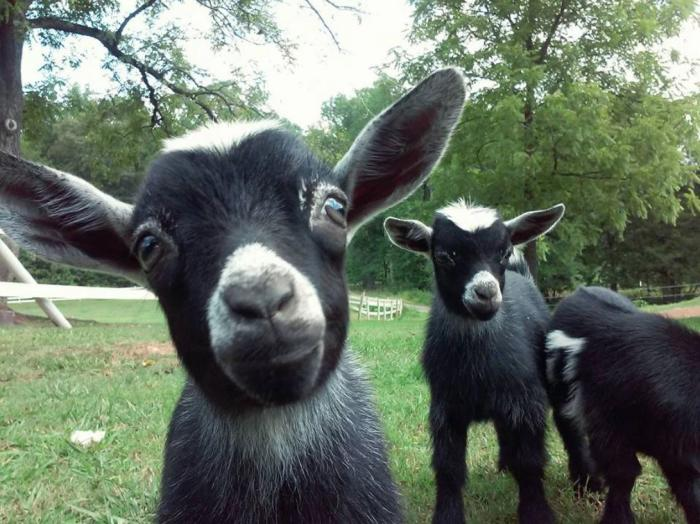 Goats at Spring Haven Farm