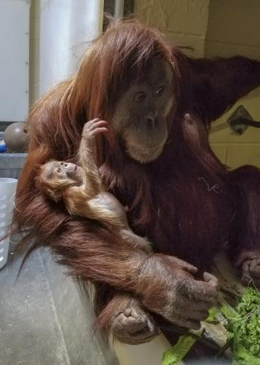Sumatran orangutans at Denver Zoo