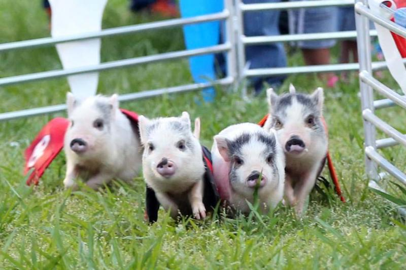 Swifty Swine Pig Races