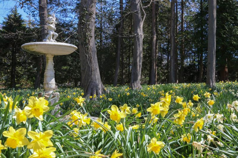 Daffodil Days Blithewold